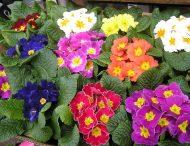 Весна. Здоровье. Первоцвет.
