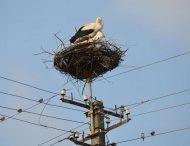 Больше не опасно: энергетики подготовили новые гнезда для аистов