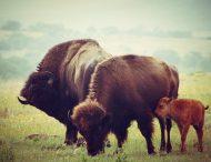 В заповеднике – родился детеныш бизона.