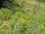 У Нікопольському районі поліцейські виявили на городі місцевого жителя посів конопель та маку .