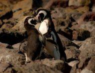 В Австралии однополая пара пингвинов усыновила второе яйцо