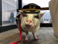 В аэропорту Сан-Франциско появился необычный работник с копытами