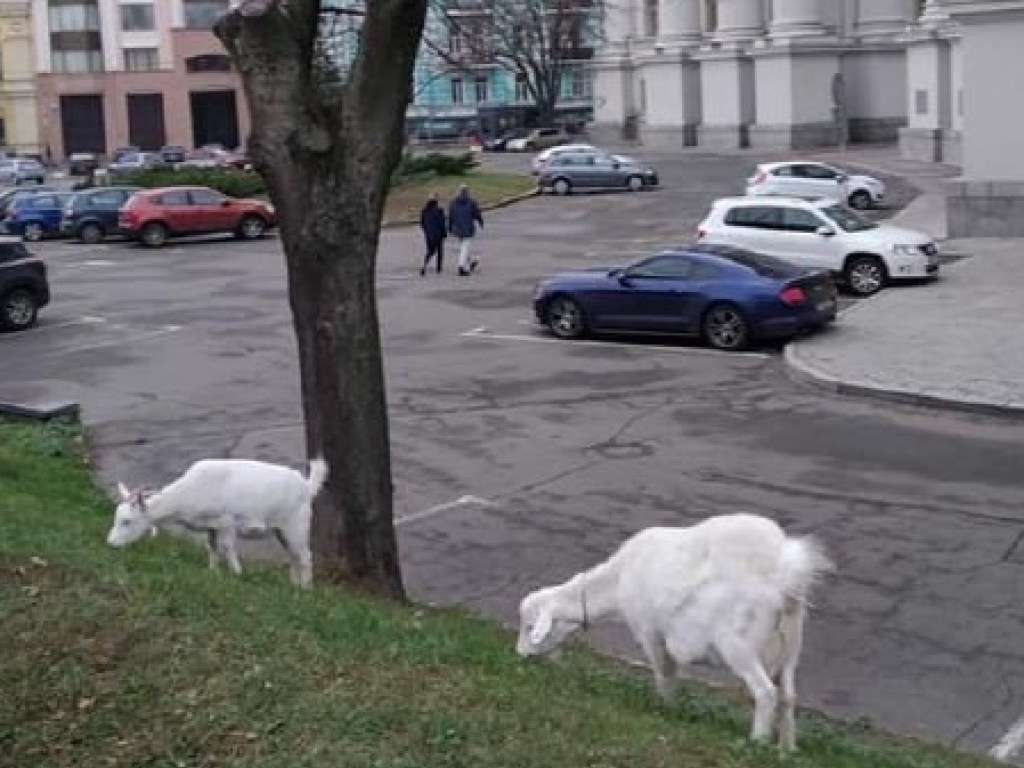 В Киеве заметили пасущихся коз у здания МИДа