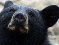 В США черный медведь оказался случайно запертым в автомобиле