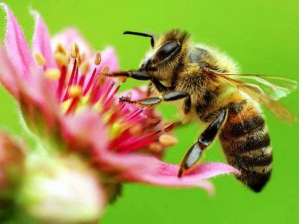 Нардепи пропонують ввести кримінальну відповідальність за знищення бджіл