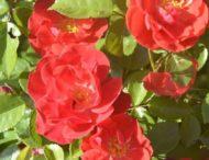 На Дніпропетровщині масово квітне королева квітів (Фото)