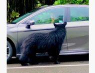 Медведица пыталась открыть автомобиль