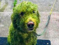 Собака пришла домой зеленая