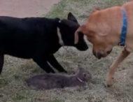 Собака бросилась на защиту кошки