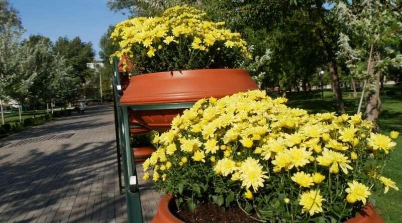 Дніпропетровщина уквітчується хризантемами (Фото)