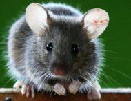 Мышка обманула двух молодых котов