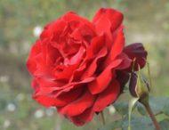 На Дніпропетровщині продовжує квітувати королева квітів (Фото)