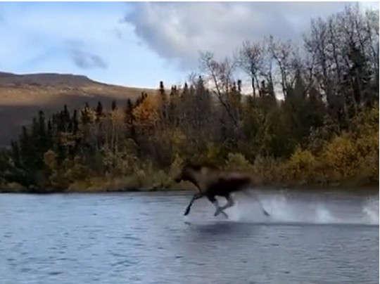 Лось поразил забегом по поверхности реки