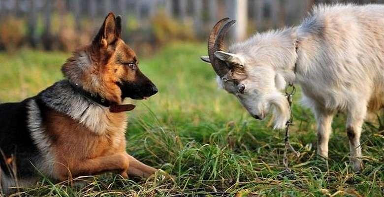 В США козу и собаку выбрали мерами города