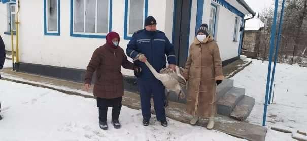 Спасатели спасли дюдей от терроризировавшего их лебедя