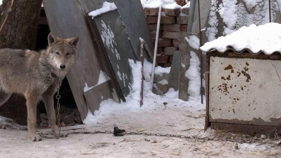 Супруги из Чернигова приютили щенка, который оказался волком