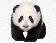 Малыш панды крепко вцепился за ногу смотрителя