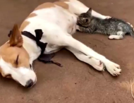 Собака накормила котенка своим грудным молоком