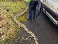 На строительной площадке поймали 4-метровую змею