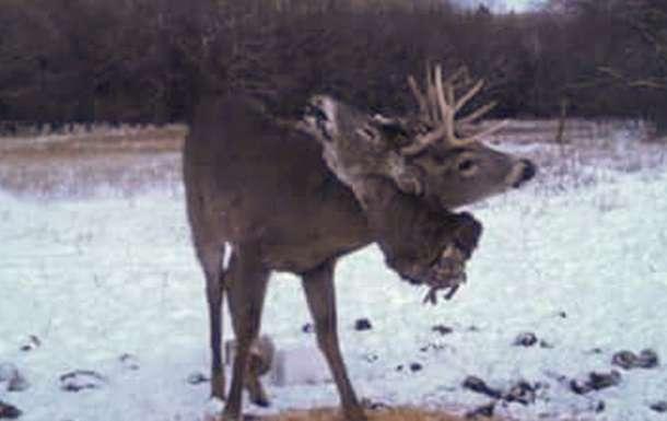 В рогах оленя застряла оторванная голова его сородича