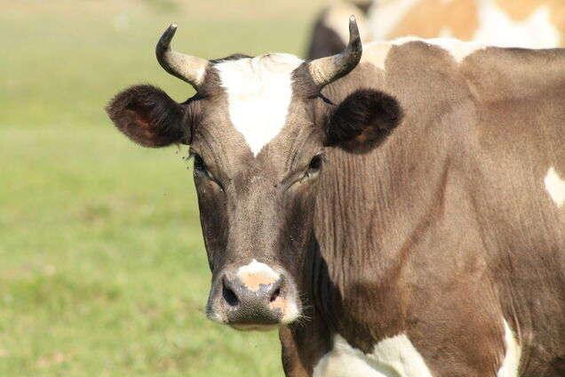 Корова научилась открывать дверцу загона языком