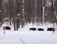 В парке под Киевом замечено стадо диких кабанов