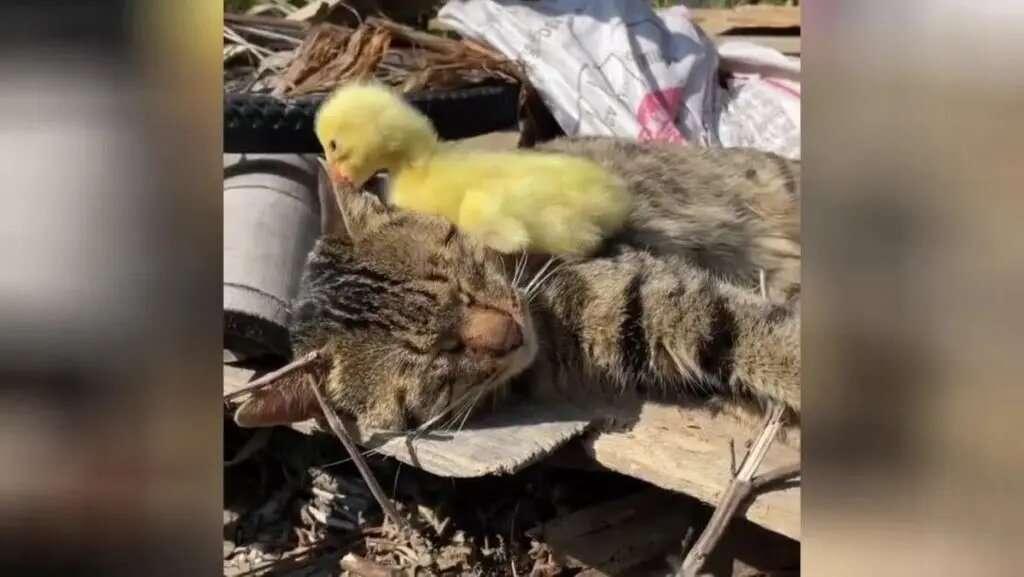 Неугомонный утенок разбудил кота