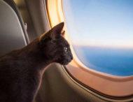 Агрессивный кот вынудил пилотов посадить самолет