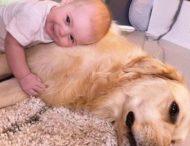 Ретривер стал другом, братом и няней для новорожденной девочки
