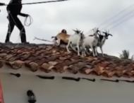 Стадо коз обнаружили на крыше
