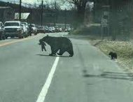 Медведица с трудом перевела детенышей через оживленную дорогу