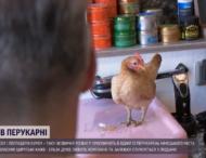 В немецкой парикмахерской клиентов развлекает курица