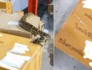 Трехметровый питон напугал работников почты