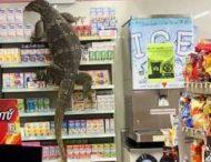 В супермаркет залезла двухметровая ящерица