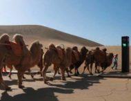 В Китае открыли светофор для верблюдов