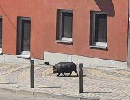 Гуляющая по Виннице свинья стала звездой соцсетей