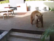 Две маленьких собачки прогнали заблудившегося медведя