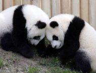17-минутная драка панд попала на видео
