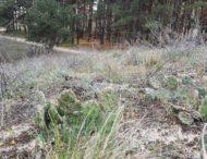 В лесу на Херсонщине выросли кактусы