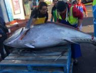 Рыбаки поймали гигантского тунца весом около 300 кг