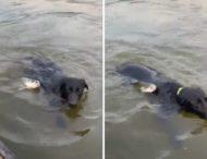 Рыба атаковала плывущего пса