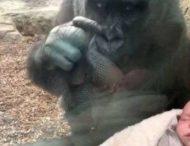 Горилла привела своего детеныша, чтобы «познакомить» с крохотным младенцем