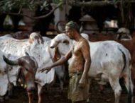 Врачи предостерегают от использования коровьего кала и мочи против коронавируса