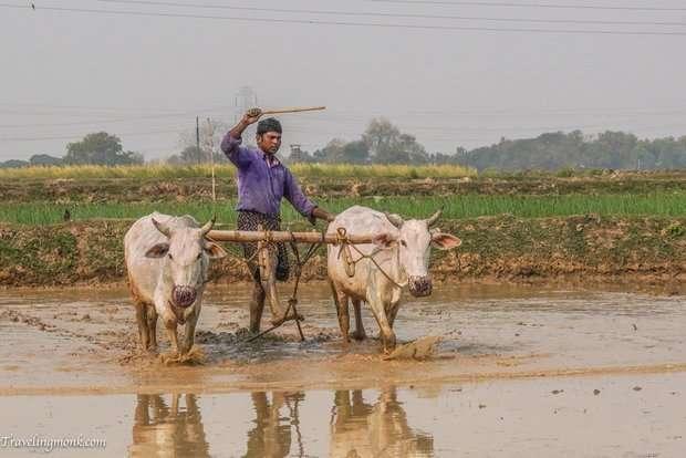 Таможня США попросила индийцев не привозить в багаже коровий навоз