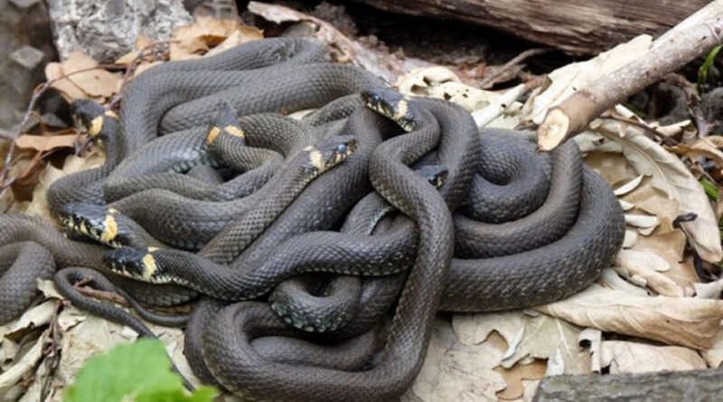 В Днепропетровской области активизировались змеи