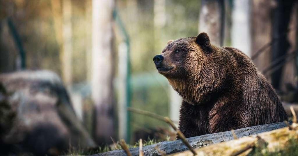 В России медведи облюбовали кладбища