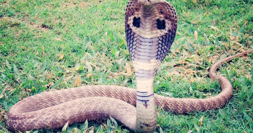 Во Вьетнаме двухметровая ядовитая змея заползла во двор, где играл ребёнок