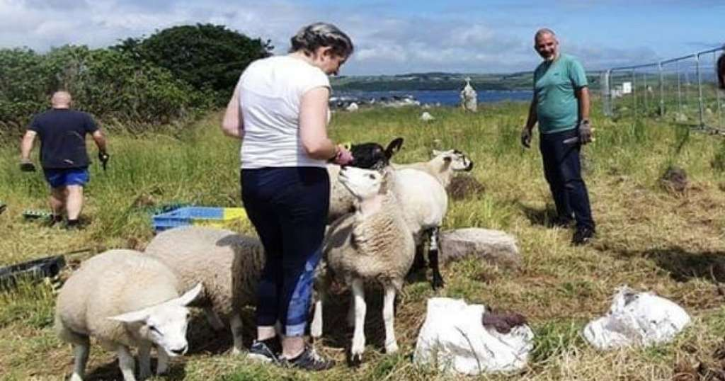 Для расчистки кладбища наняли овец