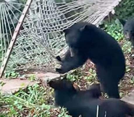 Забавное видео: двое медвежат пытаются залезть в гамак