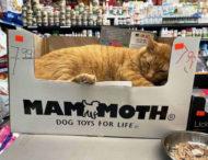 Кошки в небольших магазинах, выглядящие так, будто они и есть хозяева (ФОТО)
